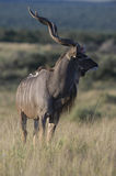 Kudu King Royalty Free Stock Photo