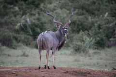 Kudu King Stock Photos