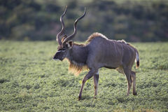 Kudu King Stock Images