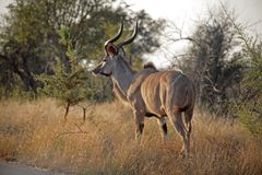 Kudu in Kruger Immagine Stock