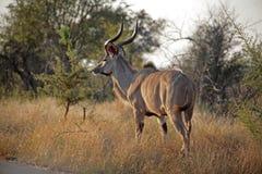 Kudu in Kruger stockbild
