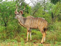 Kudu stock photos