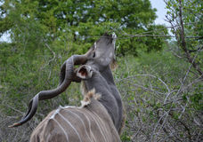 Kudu, Kruger Park, South Africa Stock Photos