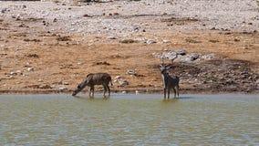 Kudu. S in the Etosha National Park, Namibia Royalty Free Stock Photo