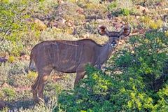 Kudu-Kuh auf höchster Alarmstufe Lizenzfreies Stockbild