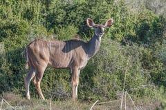 Kudu-Kuh in der typischen Position Lizenzfreies Stockbild