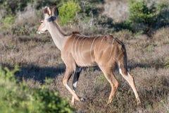 Kudu-Kuhgehen Stockbilder