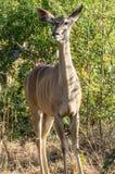 Kudu kvinnlig Fotografering för Bildbyråer