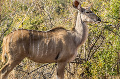 Kudu kvinnlig Arkivfoto