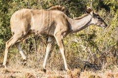 Kudu kvinnlig Royaltyfri Fotografi