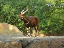 kudu lesser obrazy royalty free