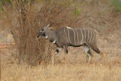 kudu lesser tragelaphus Royaltyfria Bilder