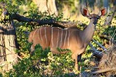 Kudu looking. Kudu in Botswana. Moremi Game Reserve Royalty Free Stock Photography