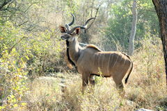 Kudu on the lookout Stock Images