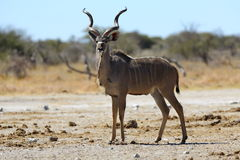 Kudu on the lookout. In Nxai Pan NP, Botswana Royalty Free Stock Photo