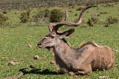 Kudu lying on the beach w trawie Zdjęcie Royalty Free
