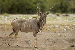 Kudu mâle restant dans le domaine Photo libre de droits