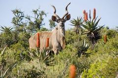 Kudu magnifique Photographie stock libre de droits