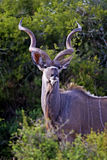 Kudu majestuoso Bull Foto de archivo