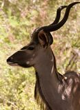 Kudu male. Male kudu in the kruger national park south africa Stock Photo