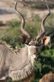 Kudu Male Buck Stock Photography