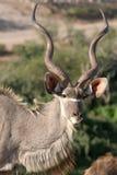 Kudu Male Buck. Large kudu male buck with horns stock photography