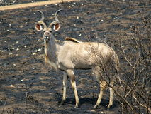 Southern african animals. Kudu male on burnt grounds Royalty Free Stock Photography
