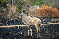 Southern african animals. Kudu male on burnt grounds Royalty Free Stock Image