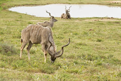 Kudu male eating grass next to a water hole Stock Image