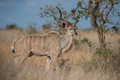 Kudu. Male kudu in Kruger National Park,South Africa Stock Photo