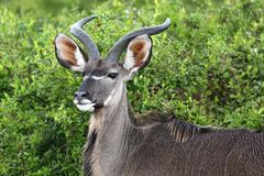 Kudu Male Portrait Royalty Free Stock Image
