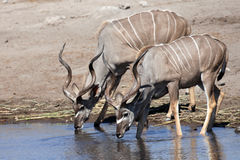 Kudu males drinking Stock Photo