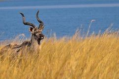 Kudu marchant dans l'herbe grande Photos libres de droits