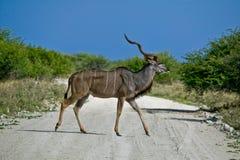 Kudu maschio Fotografie Stock