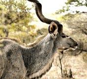 Kudu maschio Immagini Stock Libere da Diritti