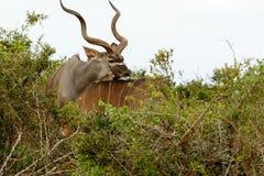 Kudu masculin reposant sa tête sur son dos femelle du ` s Image stock