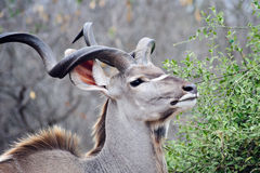 Kudu masculino Fotos de archivo