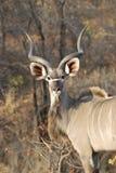 Kudu masculino imagenes de archivo