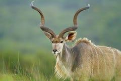 Kudu med långa horn Royaltyfria Bilder