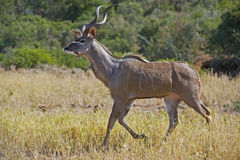 Kudu messo a fuoco Fotografia Stock