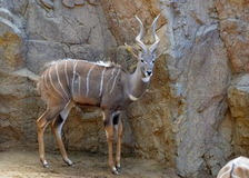 kudu mindre Royaltyfria Foton