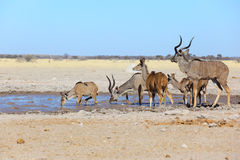 Kudu in modderige waterhole Stock Foto's