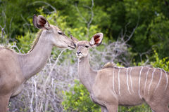 Kudu mother with her cub Royalty Free Stock Image