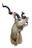 Kudu mount. Taxidermy mount of an African Greater Kudu Stock Images