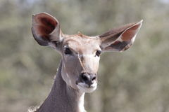 Kudu Mutterschaf Stockbild