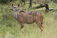Kudu Mutterschaf auf Warnung im bushveld Lizenzfreies Stockbild