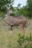 Kudu-Mutterschaf, das in das hohe Gras sich bewegt stockfoto