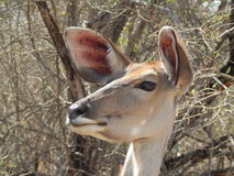Kudu-Mutterschafkopf Lizenzfreies Stockfoto