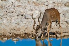 Kudu Namibia öknar och natur i nationalparker arkivfoton