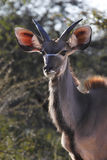 Kudu - Namibia Royalty Free Stock Photos